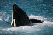 Killer whale dancing playing on the ocean - orca poster