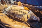 Carp fishing, angling, fish catching, capture. Big fish catch in water on sunny day. Alive carp in wet basket stretcher. Trophy, success, achievement. Hobby, sport, recreation, activity. poster