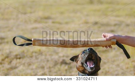A Man Training His German Shepherd Dog - Incite The Dog On The Grip Bait - The Dog Jumps And About T