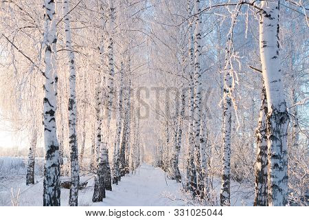 Birch Trees Covered By Snow Against Blue Sky. Winter Landscape Branches Covered With Snow