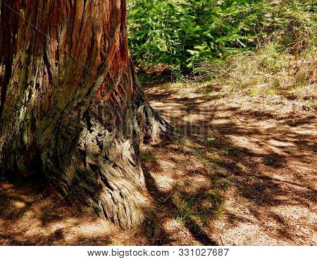 Cedar Shadows - Western Red Cedar Tree In The Forest Along The Metolius River - Near Camp Sherman, O