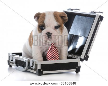cute male puppy sitting inside a briefcase on white background