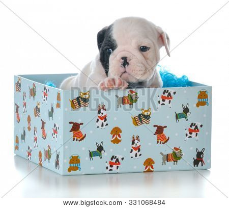 English bulldog puppy inside a blue wrapped gift box isolated on white background