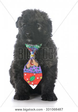 8 week old male bouvier des flandres puppy wearing christmas tie on white background