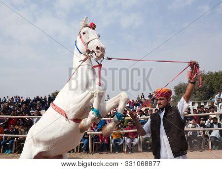 Bikaner, India - January 12, 2019: Marwari White Horse Prances During Camel Fair In Rajasthan State.
