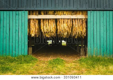 Curing Burley Tobacco Hanging In A Barn.
