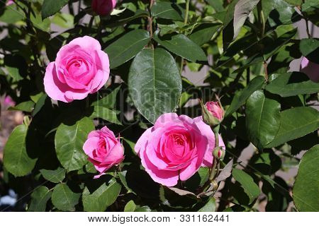 This Is An Image Of A Pink Rose Growing In Carmel, California.