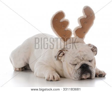 grouchy english bulldog wearing santa hat on white background