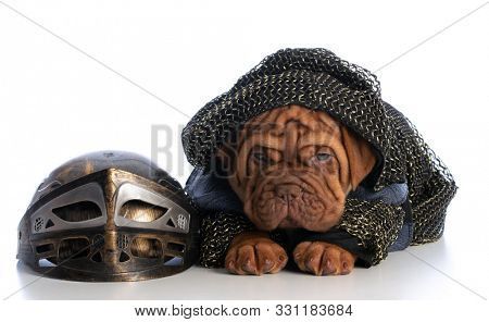 dogue de bordeaux puppy dressed up as a knight isolated on white background