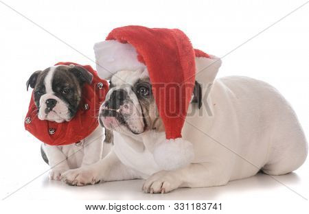 an adult and puppy English bulldog dressed up for christmas isolated on white background
