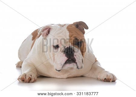 male english bulldog laying down on white background
