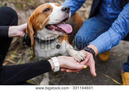 Friendship Between Human And Dog Beagle - Shaking Hand And Paw