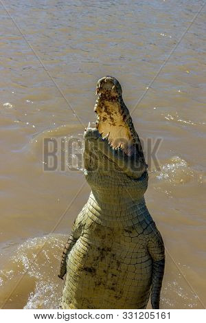 Jumping Saltwater Crocodile In Kakadu National Park In Australias Northern Territory.