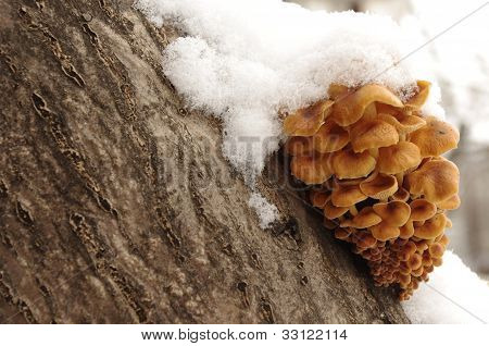 Honey mushrooms under snow
