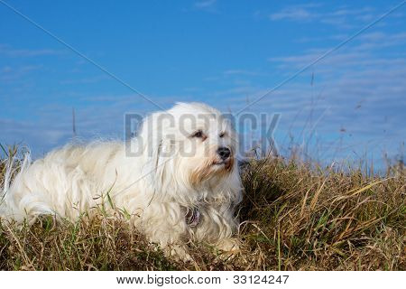 Havanese lying in the grass