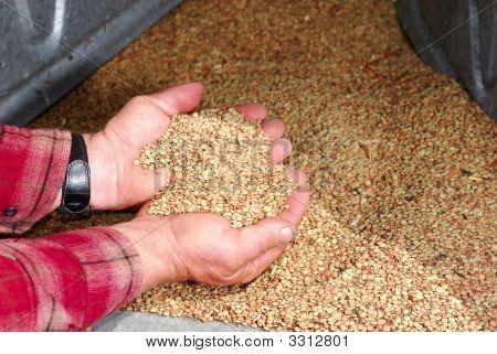 Lentils In Farmers Hands