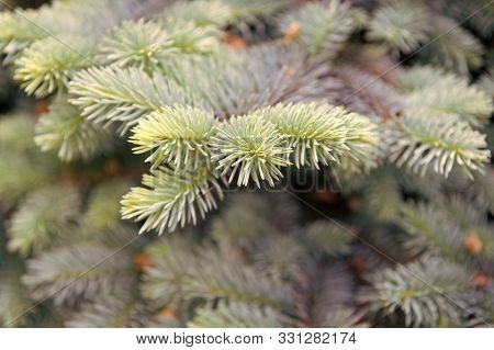 Symbolizing Immortality And Eternal Life. Spruce Or Conifer Plant. Spruce Fir Or Needles On Blurred