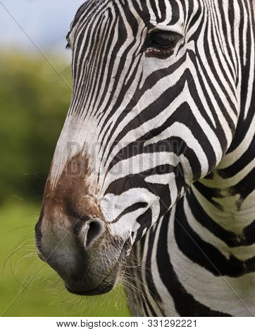 A Close Up Portrait Of The Face And Whiskered Muzzle Of A Zebra, Equus Grevyi