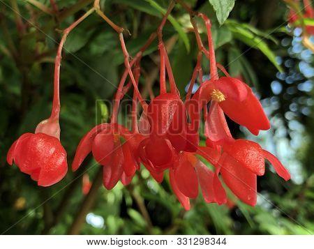 Fuchsia Begonia (begonia Foliosa Var. Miniata (planch. & Linden) L.b. Sm. & B.g. Schub) Or Fuchsein-