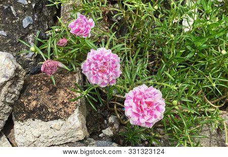 Pink Purslane Or Moss Rose Flowers In A Garden