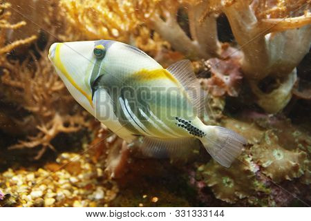 Lagoon Triggerfish (rhinecanthus Aculeatus), Also Known As The Blackbar Triggerfish, Picasso Trigger