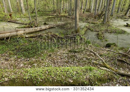 Beautiful View Of The Original Bialowieza Forest, Poland
