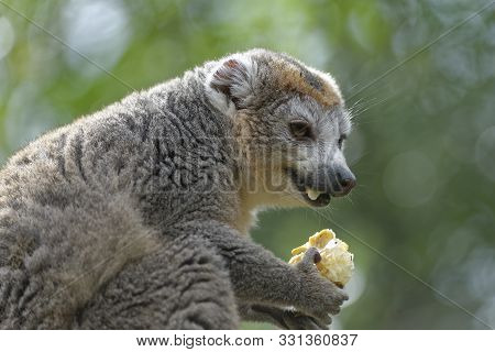 Crowned Lemur - Eulemur Coronatus  From Northern Madagascar