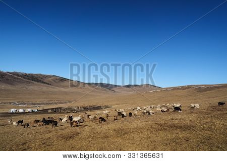 Sheeps On Mongolian Steppe
