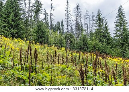 Flowering Meadow And Old Primeval Coniferous Forest, Babia Hora Hill, Orava, Slovak Republic. Season