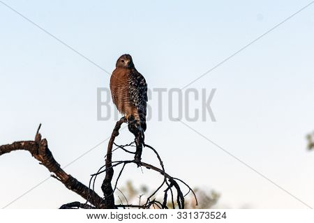 Fierce Red Shouldered Hawk Rests Atop Dried Branch Perch With Sharp Claws While Looking Forward For