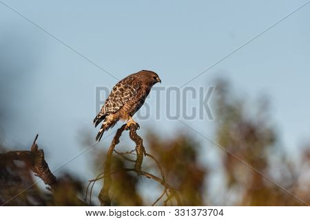 Fierce Red Shouldered Hawk Rests Atop Dried Branch Perch With Sharp Claws While Turned Profile To Th