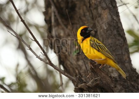 The Southern Masked Weaver Or African Masked Weaver (ploceus Velatus) Sitting In The Grass.southern