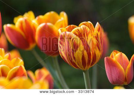 Pretty Orange Tulips