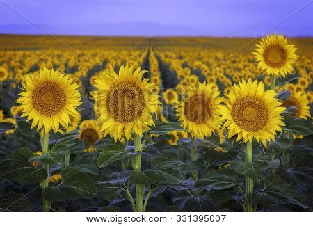 Rows Of Sunflowers At Dawn