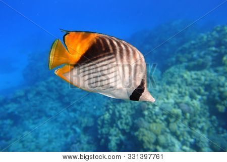 Butterflyfish In The Ocean. Tropical Fish In The Sea. Threadfin Butterflyfish With Black, Yellow And