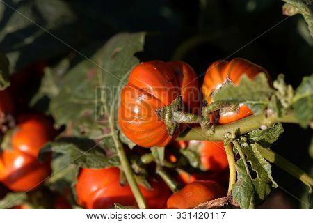 Fruits Of An Ethiopian Nightshade, Solanum Aethiopicum.