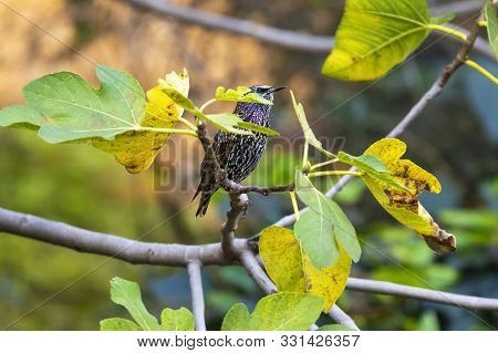 The Common Starling Bird Sitting On A Tree In Rome Italy