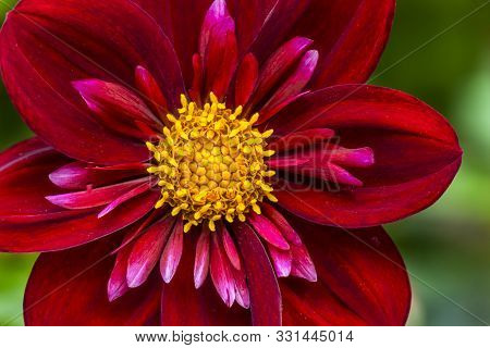Burgundy Red Yellow Coliarette Dahlia Blooming Macro. Dahlia Named Don Hill