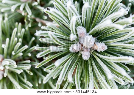 Winter Pine Tree Close Up Covered In Frost And Snow.