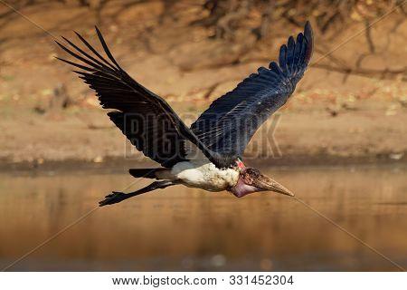 Marabou Stork - Leptoptilos Crumeniferus Large Wading Bird In The Stork Family Ciconiidae, Breeds In