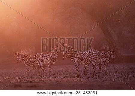 Plains Zebra - Equus Quagga Formerly Equus Burchellii, Also Common Zebra, The Most Common And Geogra