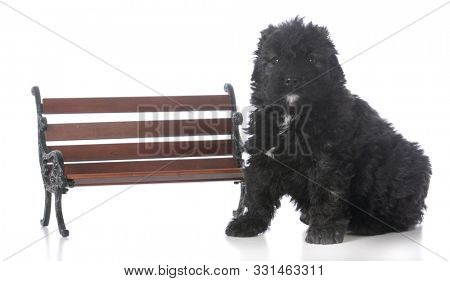 8 week old male bouvier des flandres puppy sitting beside a park bench isolated on white background