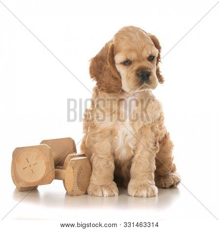 American cocker spaniel puppy sitting beside two wooden training dumbells isolated on white background