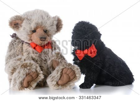 8 week old male bouvier des flandres puppy sitting with stuffed bear isolated on white background