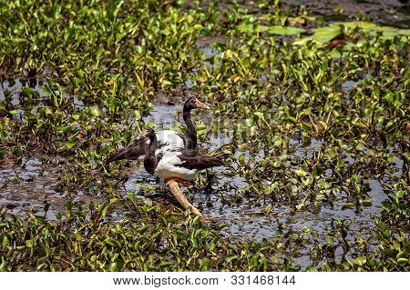 Two Ducks Resting On A Tree Branch In A Hyacinth Congested Lagoon In Botanic Gardens
