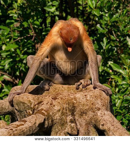 Malaysia. The Long-nosed Monkey Or Kahau (lat. Nasalis Larvatus) -- A Species Of Primates From The S