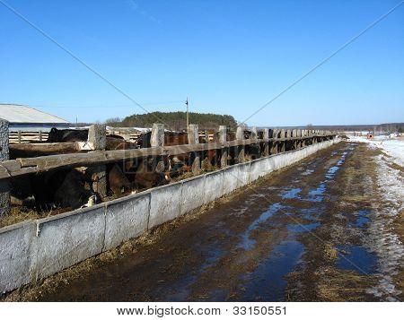 Brown cows on a farm
