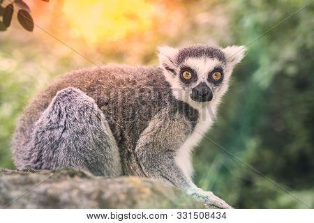 Ring Tailed Lemur (lemur Catta) In The Green Garden