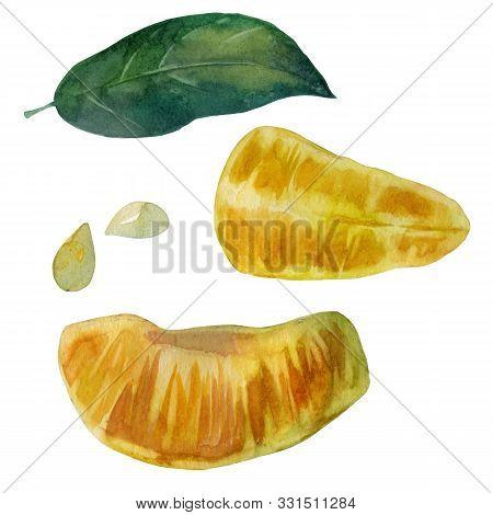 Watercolor Illustration. Mandarin. Slices Of Mandarin. Mandarin Leaf Tangerine Bones