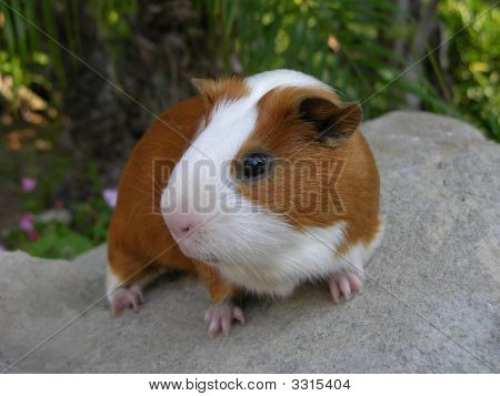 Satin Guinea Pig Sitting On A Rock